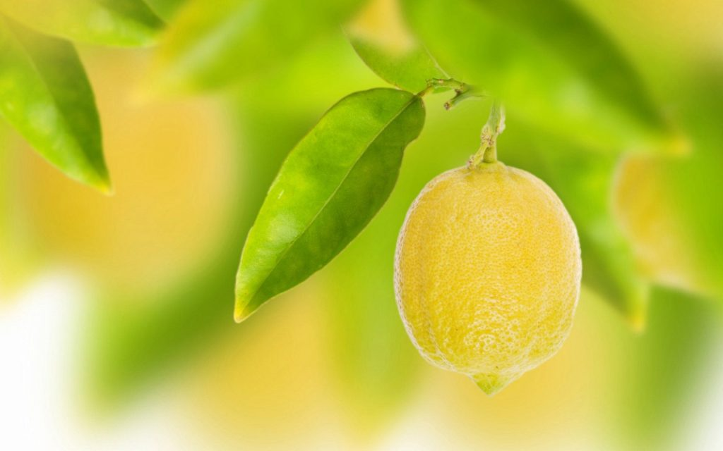 hanging lemon